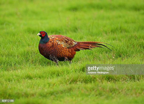 A pheasant watches the golf during the final round of The Johnnie Walker Championship at Gleneagles on August 31 2008 at the Gleneagles Hotel and...