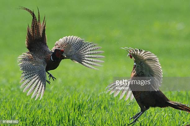 Pheasant's fight