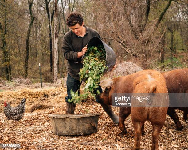 Phil Haynes assistant livestock manager of Stone Barns Center for Food and Agriculture feeds Red Wattle pigs at the company's farm in Pocantico Hills...