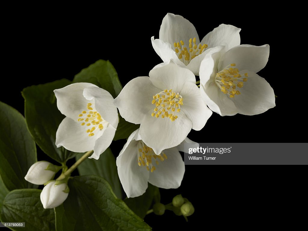 philadelphus flowers and leaves, black background
