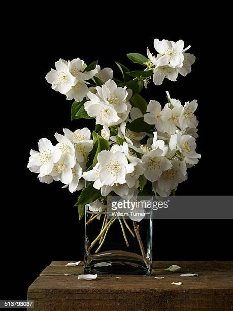 philadelphus flowers on a  black background