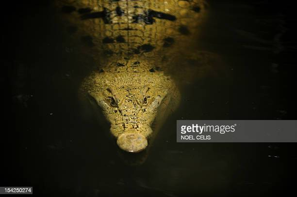 PhilippinesanimalzooFEATURE by Mynardo Macaraig In a picture taken on June 20 an albino Philippine crocodile swims at an enclosure at the Manila Zoo...