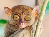 Funny tarsier on the tree branch. Bohol. Phillipines