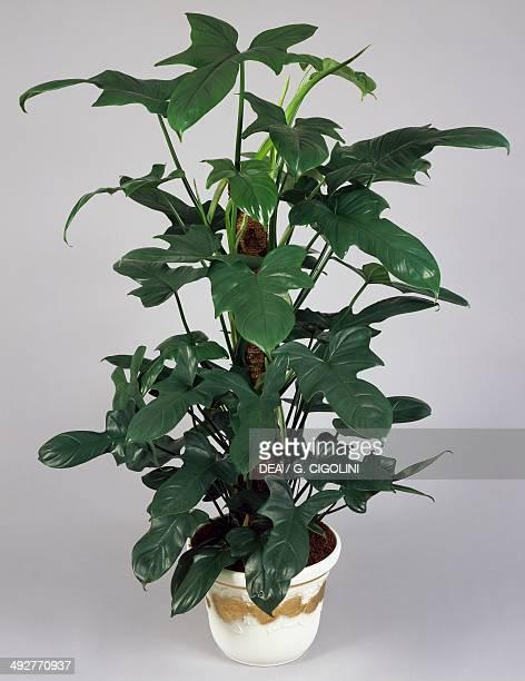 Philodendron Araceae