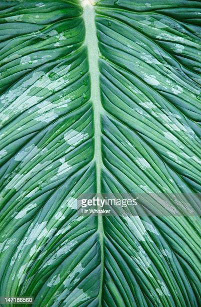 Philodendron leaf, close-up