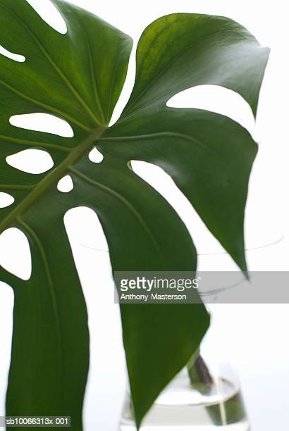 Philodendron leaf in vase, close up