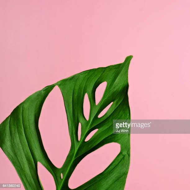 Philodendron leaf on pink
