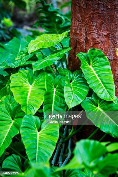 Philodendrons Growing in Forest, Oahu, Hawaii, USA