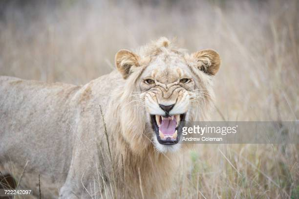 'Young male Lion, Panthera leo, baring his teeth.'