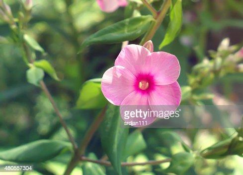 Phlox flower : Stock Photo