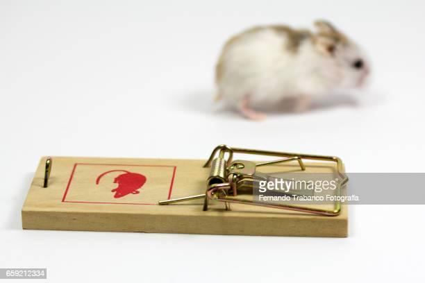 Phodopus roborovskii (Roborovski hamster) escapes from a mousetrap