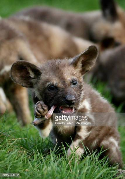 Photo An 8 week old wild dog puppy during feeding time at the Port Lympne Wild Animal Park near Hythe in Kent