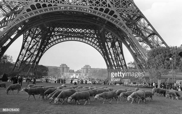 Photo datée du 20 octobre 1972 des moutons de Larzac qui paissent sur la pelouse du Champs de Mars à Paris / AFP PHOTO / STAFF