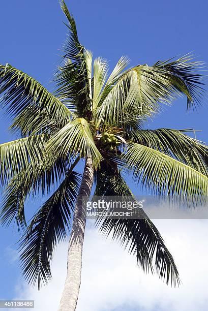 Photo datée du 23 juillet 2005 d'un cocotier sur l'île de BoraBora en Polynésie Française Photo taken 23 July 2005 showing a coconut tree on the...
