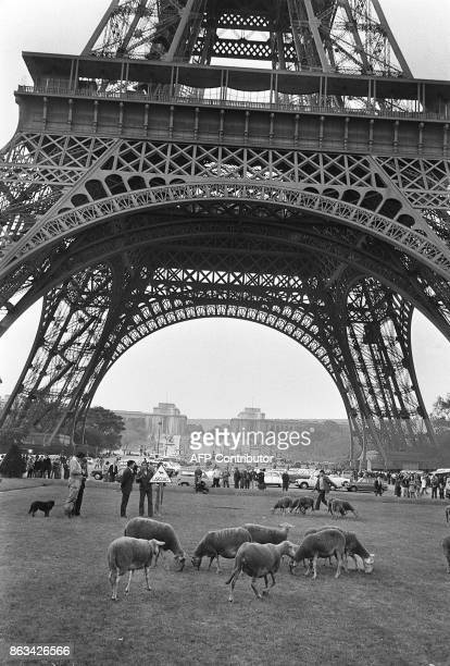 Photo datée du 25 octobre 1972 des moutons du Larzac qui paissent sur la pelouse du Champs de Mars à Paris lors d'une manifestation contre...
