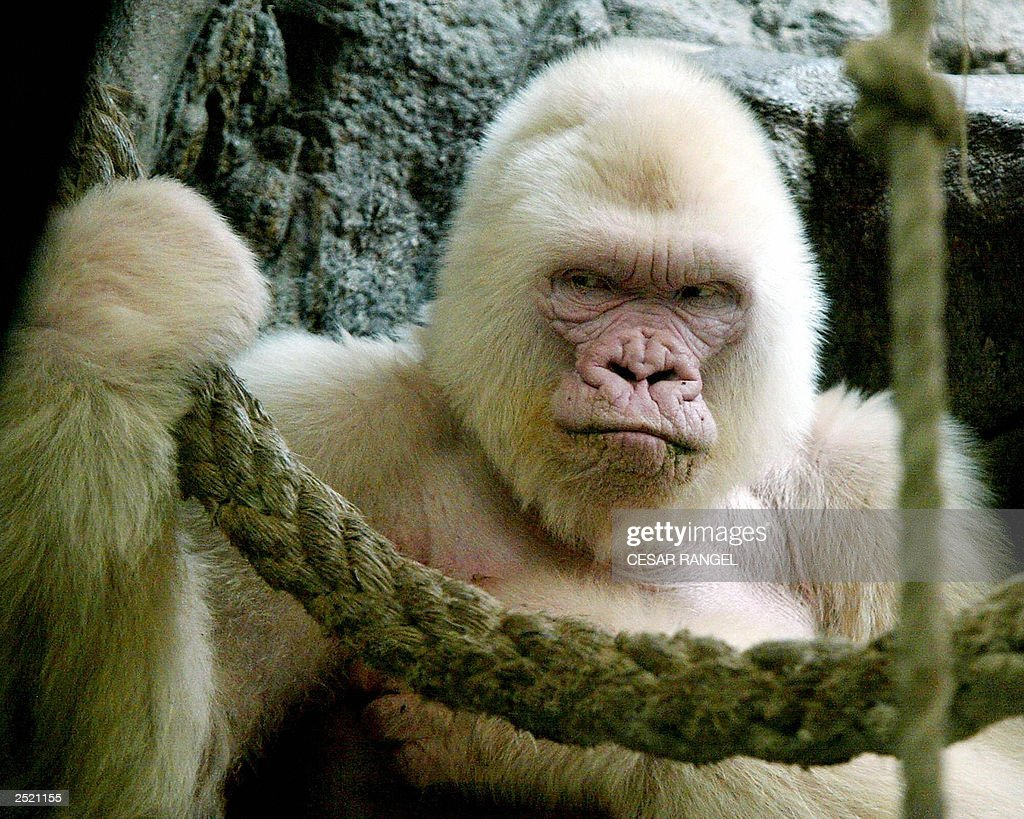 Photo dated 14 September 2003 shows 40-year-old Copo de Nieve (Snowflake), the only albino gorilla in the Barcelona zoo, Spain. Zoo specialists said that the gorilla was suffering from leather cancer and that his life expectancy is of about three months.
