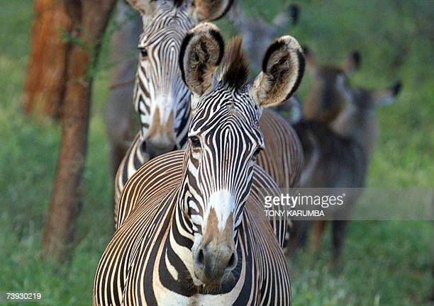 Photo dated 25 May 2005 shows Gravy Zebra in Kenya's Meru national park A raging debate on the reintroduction of game hunting has sparked 20 April...