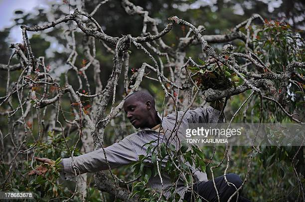 Photo made July 29 2013 shows a farmer plucking khat shoots off a tree on a plantation at Kenya's misty central highlands region of Meru Khat called...