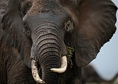 Photo made on December 30 2012 shows an elephant at the Amboseli game reserve approximately 250 kilometres south of Kenyan capital Nairobi Drawing to...