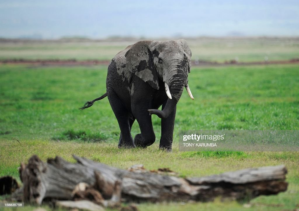 """Photo made on December 30, 2012 shows an elephant at the Amboseli game reserve, approximately 250 kilometres south of Kenyan capital Nairobi. Drawing to its close today, this year 2012, according to the International Fund for Animal Welfare, IFAW, stands out as the ''annus horriblis'' (Latin for 'year of horrors') for the World's largest land mammal with statistics standing at 34 tonnes of poached ivory having been seized, marking the biggest ever total of confiscated ivory in a single year, outstripping by almost 40 per cent last year's record of 24.3 tonnes. Earlier this year, in just six weeks, between January and March 2012, at least 50 per cent of the elephants in Cameroon's Bouba Ndjida National Park were slaughtered for their ivory by horseback bandits. Most illegal ivory is destined for Asia, in particular China, where it has soared in value as an investment vehicle and coveted as """"white gold."""" AFP PHOTO/Tony KARUMBA"""