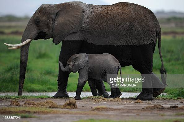 Photo made on December 30 2012 shows elephants at the Amboseli game reserve approximately 250 kilometres south of Kenyan capital Nairobi Drawing to...