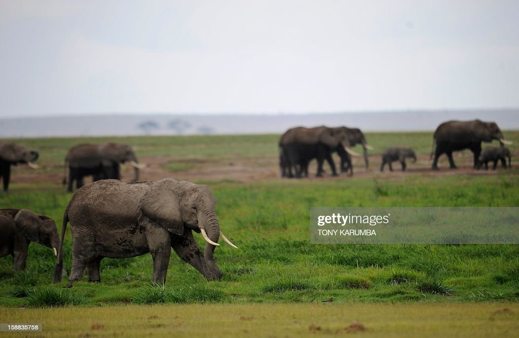 """Photo made on December 30, 2012 shows elephants at the Amboseli game reserve, approximately 250 kilometres south of Kenyan capital Nairobi. Drawing to its close today, this year 2012, according to the International Fund for Animal Welfare, IFAW, stands out as the ''annus horriblis'' (Latin for 'year of horrors') for the World's largest land mammal with statistics standing at 34 tonnes of poached ivory having been seized, marking the biggest ever total of confiscated ivory in a single year, outstripping by almost 40 per cent last year's record of 24.3 tonnes. Earlier this year, in just six weeks, between January and March 2012, at least 50 per cent of the elephants in Cameroon's Bouba Ndjida National Park were slaughtered for their ivory by horseback bandits. Most illegal ivory is destined for Asia, in particular China, where it has soared in value as an investment vehicle and coveted as """"white gold."""" AFP PHOTO/Tony KARUMBA"""