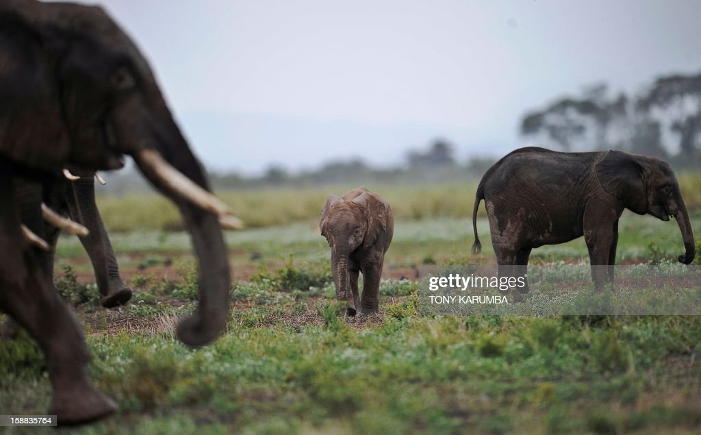 "Photo made on December 30, 2012 shows elephants at the Amboseli game reserve, approximately 250 kilometres south of Kenyan capital Nairobi. Drawing to its close today, this year 2012, according to the International Fund for Animal Welfare, IFAW, stands out as the ''annus horriblis'' (Latin for 'year of horrors') for the World's largest land mammal with statistics standing at 34 tonnes of poached ivory having been seized, marking the biggest ever total of confiscated ivory in a single year, outstripping by almost 40 per cent last year's record of 24.3 tonnes. Earlier this year, in just six weeks, between January and March 2012, at least 50 per cent of the elephants in Cameroon's Bouba Ndjida National Park were slaughtered for their ivory by horseback bandits. Most illegal ivory is destined for Asia, in particular China, where it has soared in value as an investment vehicle and coveted as ""white gold."" AFP PHOTO/Tony KARUMBA"
