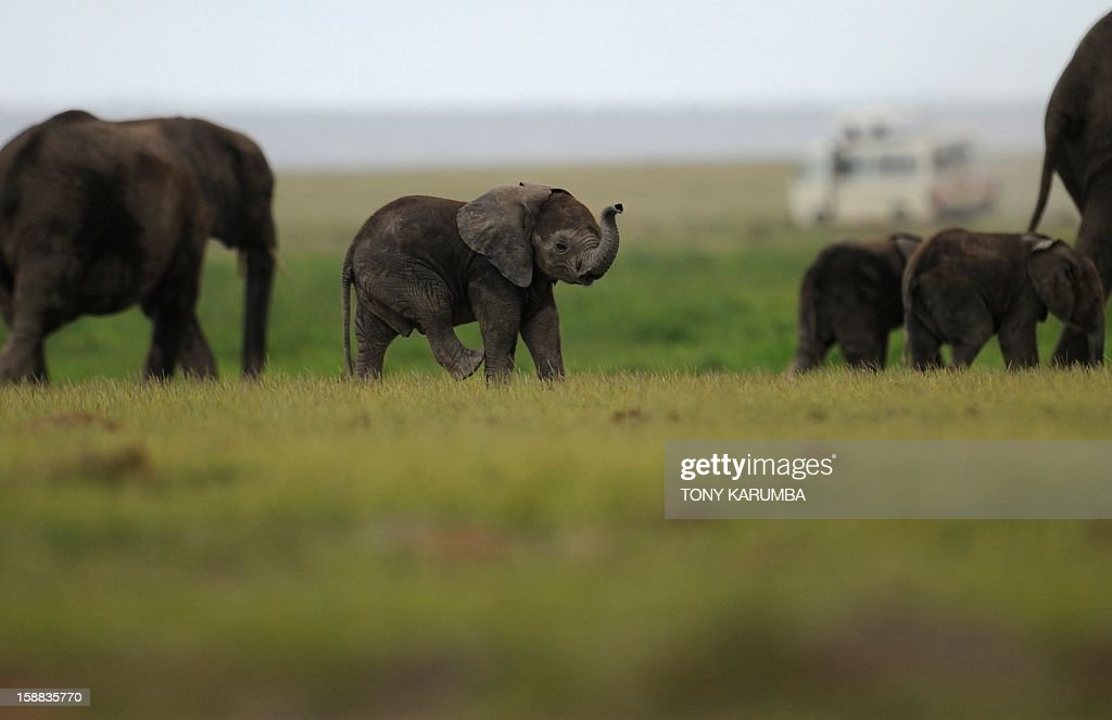 """Photo made on December 30, 2012 shows elephants calves at the Amboseli game reserve, approximately 250 kilometres south of Kenyan capital Nairobi. Drawing to its close today, this year 2012, according to the International Fund for Animal Welfare, IFAW, stands out as the ''annus horriblis'' (Latin for 'year of horrors') for the World's largest land mammal with statistics standing at 34 tonnes of poached ivory having been seized, marking the biggest ever total of confiscated ivory in a single year, outstripping by almost 40 per cent last year's record of 24.3 tonnes. Earlier this year, in just six weeks, between January and March 2012, at least 50 per cent of the elephants in Cameroon's Bouba Ndjida National Park were slaughtered for their ivory by horseback bandits. Most illegal ivory is destined for Asia, in particular China, where it has soared in value as an investment vehicle and coveted as """"white gold."""" AFP PHOTO/Tony KARUMBA"""