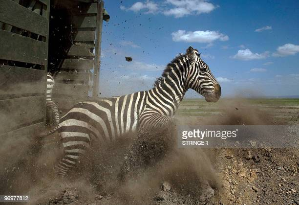 Photo made on February 15 2010 shows a Zebra bolting out of an enclosure after a herd was translocated from Soysambu conservancy in the Kenyan Rift...