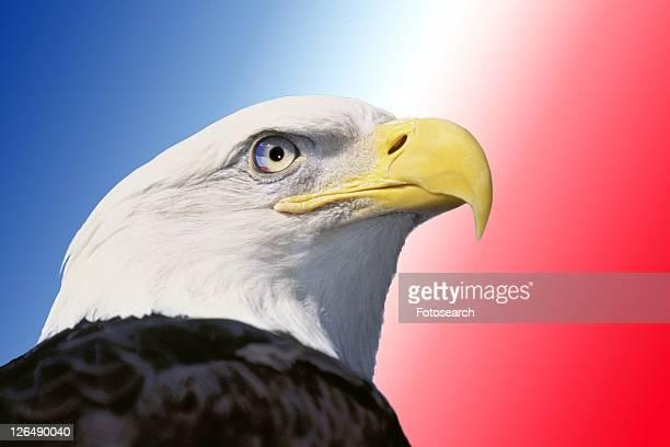 Photo montage: American bald eagle