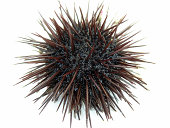 sea urchin close-up on white background