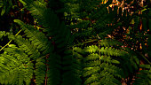 Photo of fern (Pteridium aquilinum) leaf in summer mixed forest with forest floor on the background, fresh greenery with soft sunlight
