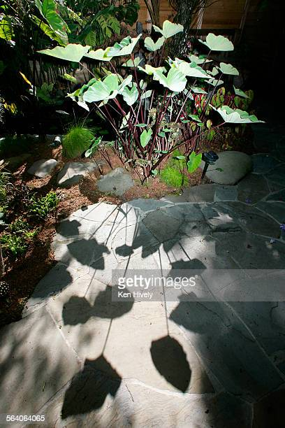 Photo of patterns from Alocasia in the Venice backyard of Dan Abrams Feature on gardeners who have devised clever tricks for making small yards seem...