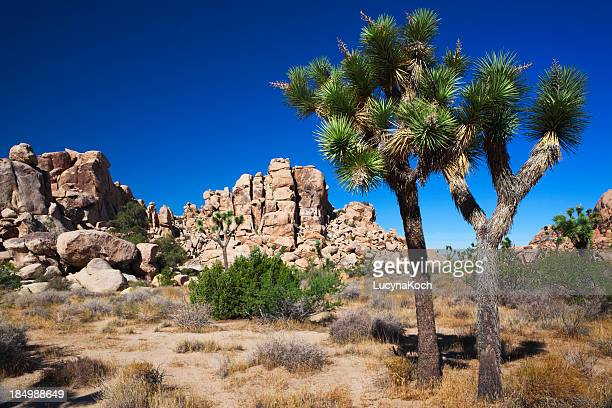 A photo of the desert during the day, including Joshua Trees
