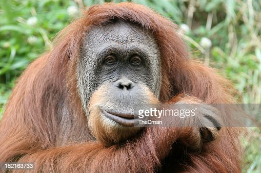 Photo portrait of a hairy orangutan, his head on his forearm