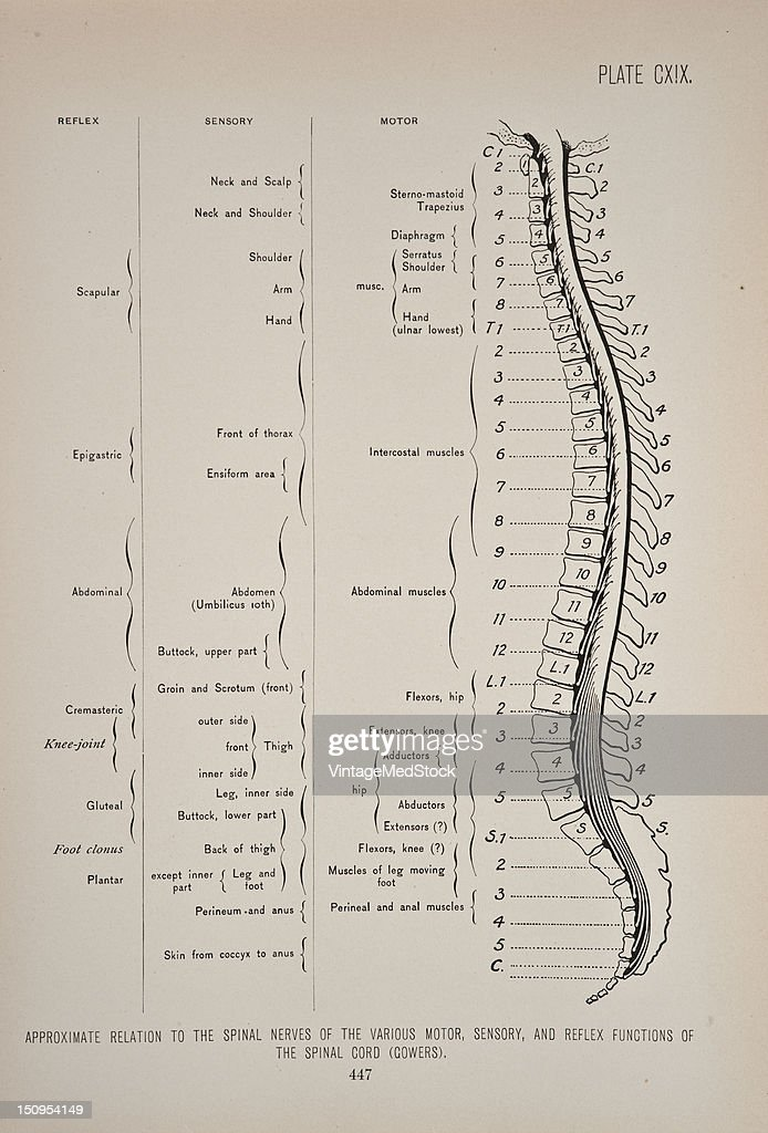 Photo representing relations of the spinal cord and spinal nerves 1899 From 'The Treatise of the Human Anatomy and Its Applications to the Practice...