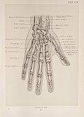 Photo representing the placement and arteries of the hand 1899 From 'The Treatise of the Human Anatomy and Its Applications to the Practice of...