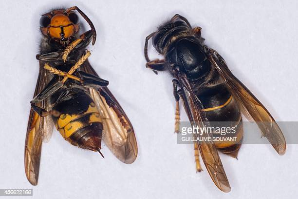 A photo shows a female Asian Hornet with its sting on September 30 2014 at the Research Institute of Biology of the Insect in Tours central France...