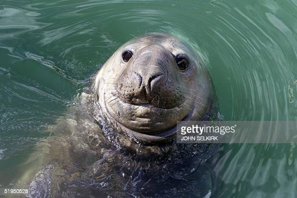 A photo taken 13 April 2000 shows an elephant seal nicknamed Homer enjoying the water in Gisborne Homer damaged a car and caused general mayhem on...