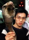 Photo taken 13 January 2001 shows Tam Yingchin working in a snake restaurant plays with a King Cobra destined for the dinner table in Wanchai In a...