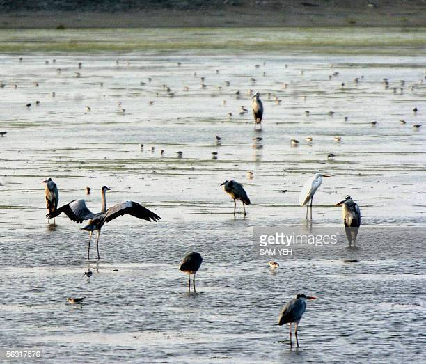 Photo taken 25 November 2005 shows a flock of waterbirds in Sihcao a wildlife reserve at Taiwan's southern Tainan city More than a million birds live...