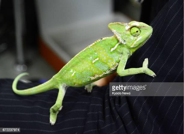 Photo taken April 24 shows a stray chameleon kept at Tama Police Station in Kawasaki Kanagawa Prefecture near Tokyo A local resident found the...