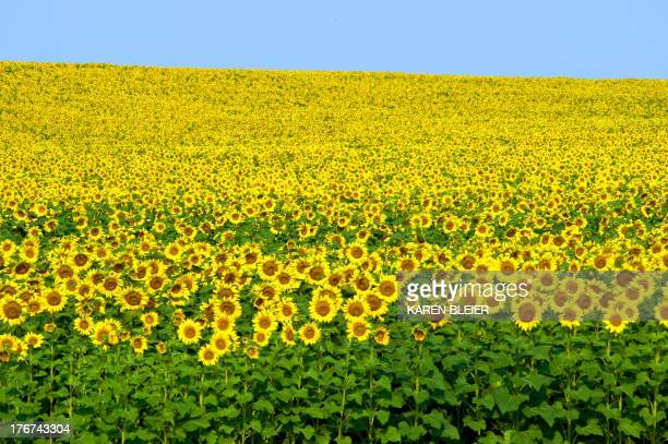 Photo taken August 18 2013 shows sunflowers in a field near Bismarck North Dakota AFP PHOTO / Karen BLEIER
