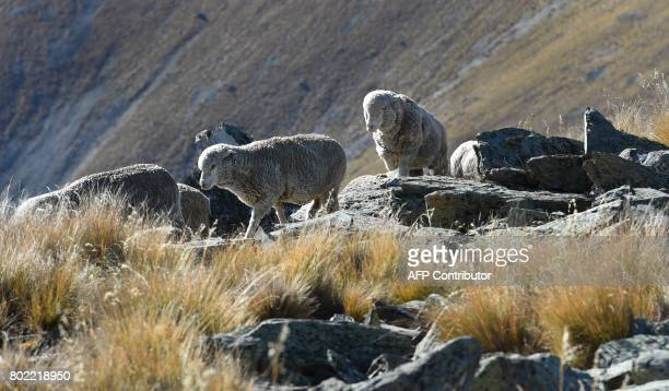 A photo taken on 21 April 2017 shows a flock of merino sheep driven 15 kilometres up and over Old Man Peak at 6000ft during a twoday muster on the...
