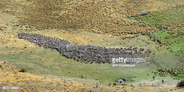 A photo taken on 21 April 2017 shows some of a flock of merino sheep driven 15 kilometres up and over Old Man Peak at 6000ft during a twoday muster...