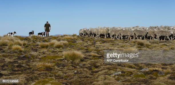 A photo taken on 21 April shows farmer Charlie Innes and his dogs as he herds a flock of merino sheep 15 kilometres up and over Old Man Peak at...