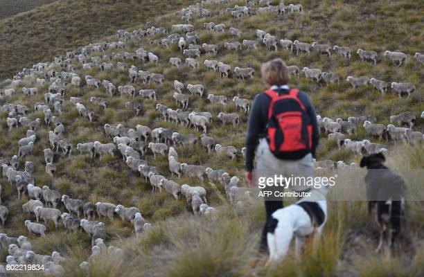A photo taken on 21 April shows farmer Geva Innes in the early morning light as a flock of merino sheep are taken 15 kilometres up and over Old Man...