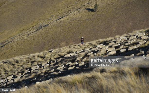 A photo taken on 21 April shows farmer Jock Innes in the early morning light as a flock of merino sheep are taken 15 kilometres up and over Old Man...