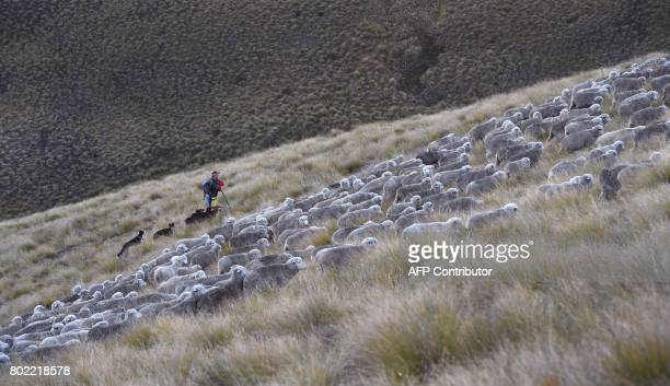 A photo taken on 21 April shows farmer Robert Shortus in the early morning light as a flock of merino sheep are taken 15 kilometres up and over Old...