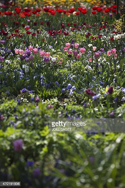 A photo taken on April 18 2015 shows a wide variety of flowers in the gardens of the home of French Impressionist artist Claude Monet in Giverny...